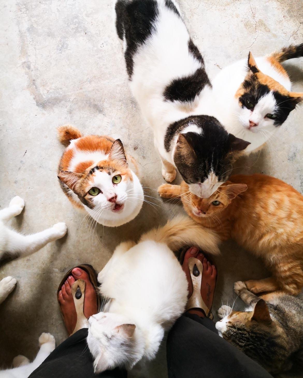 I gatti del Langkawi Lassie