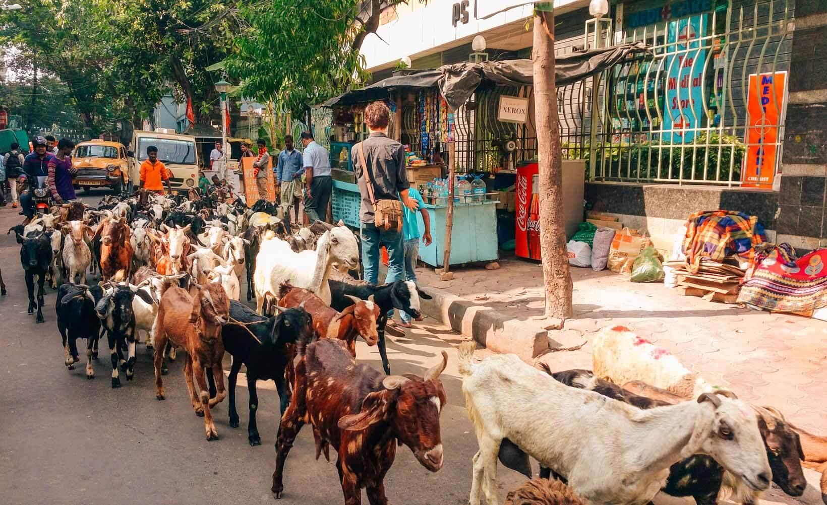 Capre in Sudder street a Calcutta
