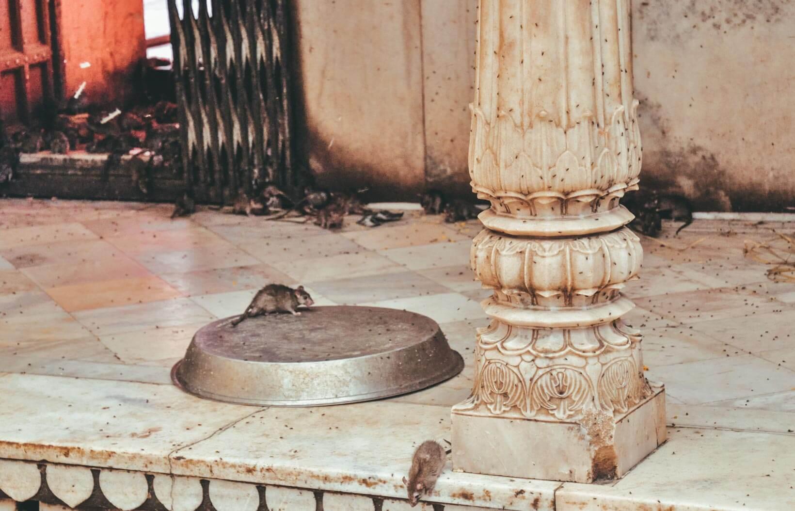 Karni Mata Mandir il tempio dei topi in Rajasthan